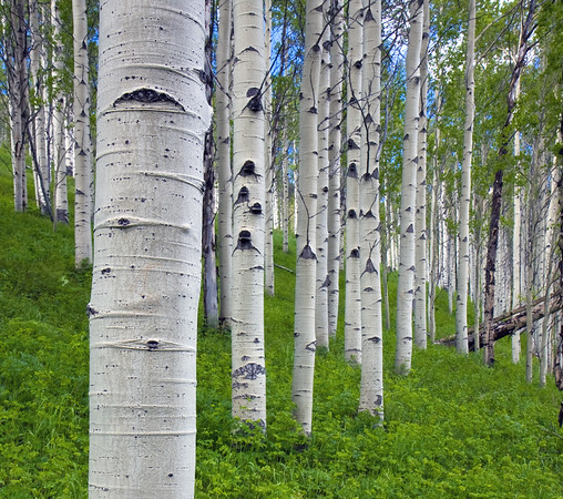 Aspen grove along the Piney Lake Trail near Vail, CO