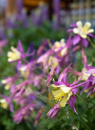 Colorado's state flower, the Colorado columbine.