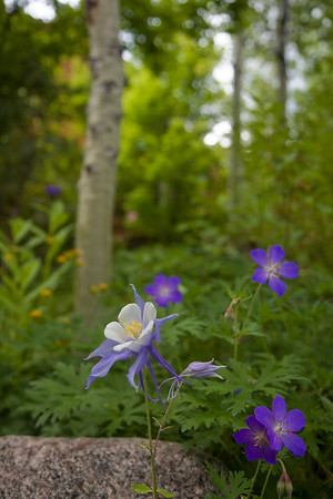 Columbine along the trail with aspen bole in the background. Great to be back in Colorado!