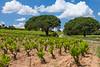 Olivier Hickman Wine Tour-Tavel Vineyards near Chateau Nuef du Pape