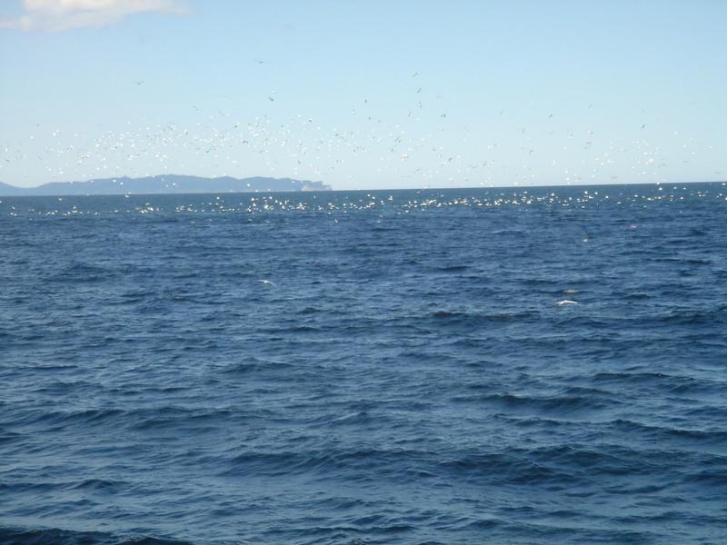 Veel duikende vogels