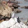 Pinguins in Betty's Bay