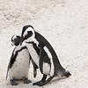 Pinguins op de Kaap