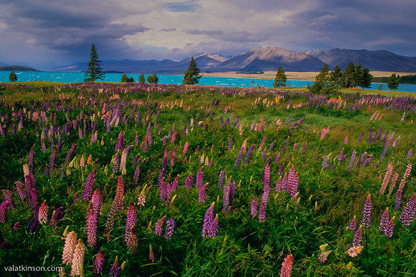Colorful Lupine on Lake Wakitipu, New Zealand