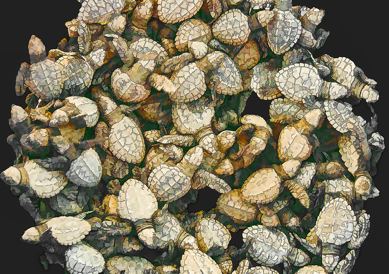 Olive Ridely Turtle Hatchlings - ready to be released into Banderas Bay