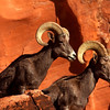 Big Horn Sheep posing nicely