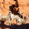 Big horn sheep in Valley of the Fire State Park, Nevada, January 2015.