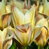 Snapshots of a Garden - Tulip 1