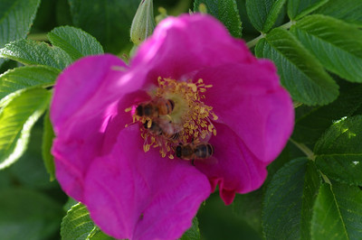 Bees in Macro - Whistler Pavillion