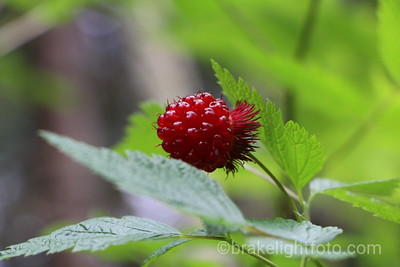 Salmon Berry