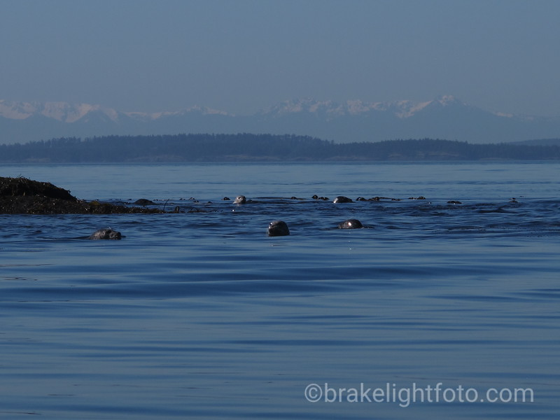 Harbour Seals in the Java Islets