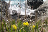 Surf, rocks and daffodils in Saxe Point Park