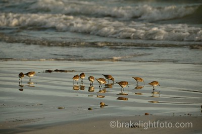 Shorebirds at Rugged Point