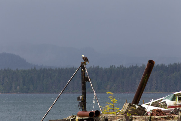 Bald Eagle - Alert Bay - Cormorant Island, British Columbia, Canada