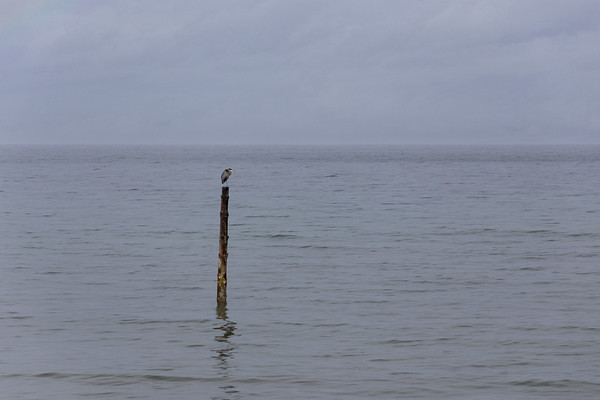 Heron On A Pier - Qualicum Beach, Vancouver Island, British Columbia, Canada