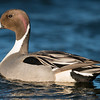 Northern Pintail ( Anas acute )