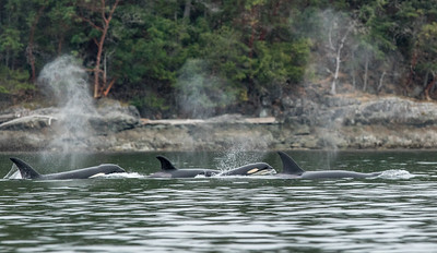 Orca Pod On The Move