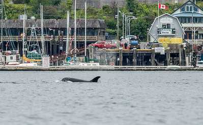 Orca in Cowichan Bay Harbour