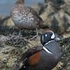 Harlequin Duck ( Histrionicus histrionicus )