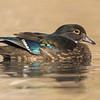Wood Duck ( Aix sponsa ), female