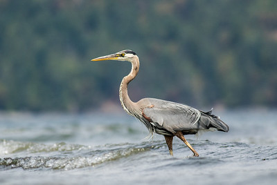 Great Blue Heron in Surf