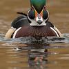 Wood Duck ( Aix sponsa )