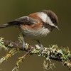 Chestnut-backed Chickadee ( Poecile rufescens )