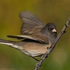Dark-eyed Junco ( Junco hyemalis )