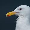 Glaucus=winged Gull  ( Larus glaucescens )