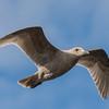 Immature Glaucus-winged Gull  ( Larus glaucescens )