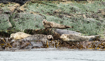 Harbour Seals And Kelp