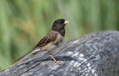 Junco On Driftwood