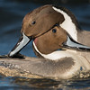 Neck Wrestling, Northern Pintail