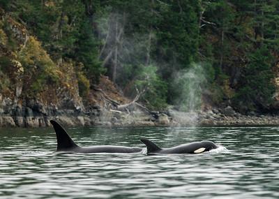 Orcas Cruising