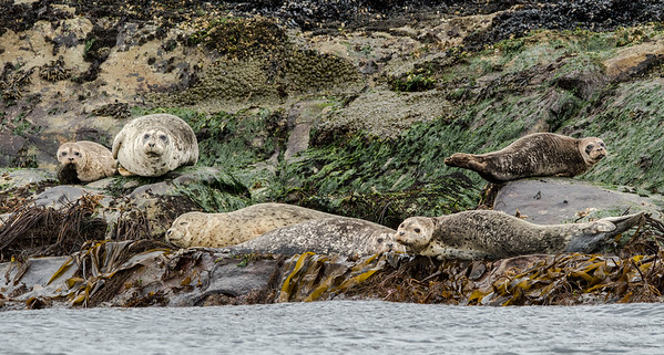 Six Harbour Seals