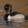 Ring-necked Duck ( Aythya collaris )