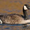 Canada Goose ( Branta canadensis )