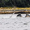 Juneau, Whale Watch 6