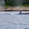 Juneau, Whale Watch 11