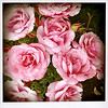 Lota roses