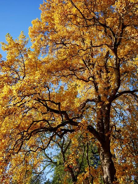 Maple Tree At Sunset