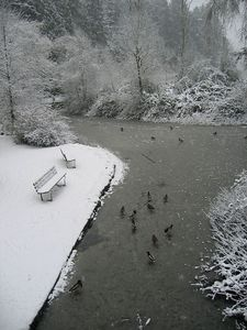 pond_ducks