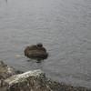 Seal on Cowichan Bay