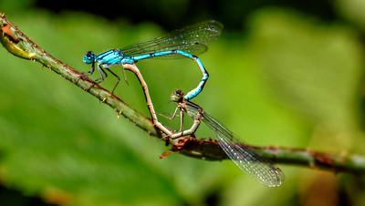 Common Blue Damselfly ~ Almindelig Vandnymfe