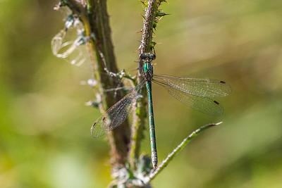 Emerald Damselfly ~ Almindelig Kobbervandnymfe