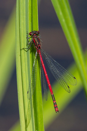 Large Red Damselfly - Rød Vandnymfe