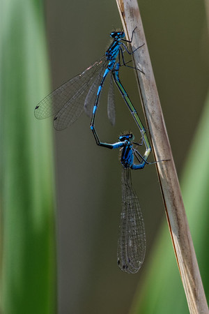 Variable Damselfly ~ Flagermusvandnymfe