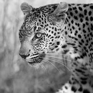 Leopard Princess