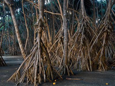 Tanna trees