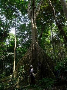 Nakatambol Tree